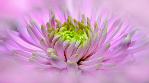 dahlia pink close