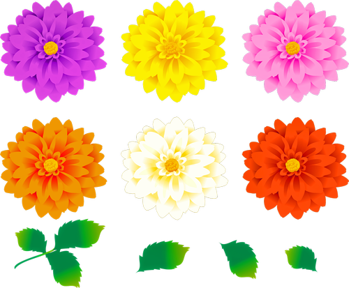 dahlia flowers  colorful floral  leaves