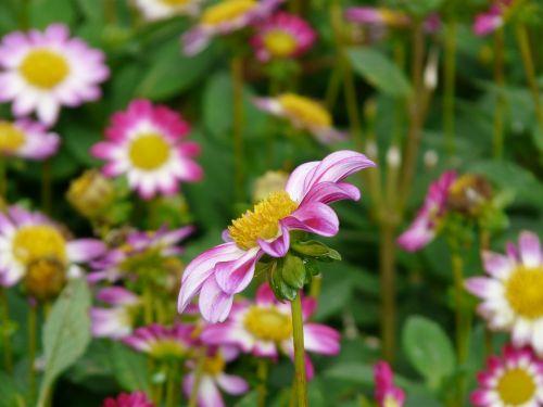 dahlia garden pink white