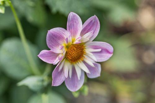 dahlia hortensis dahlia neck frills-dahlia