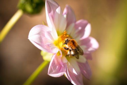dahlia hortensis hummel blossom