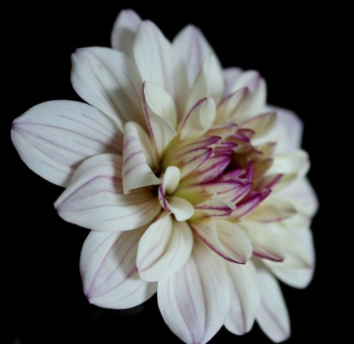 dahlia white,dahlia,flower,dahlia garden,blossom,bloom,white,late summer,garden,garden plant,autumn flower,cream,dahlia flower,black background