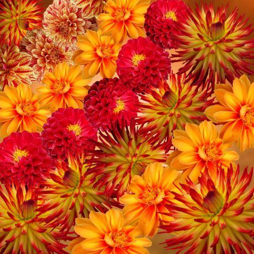 dahlias autumn flower