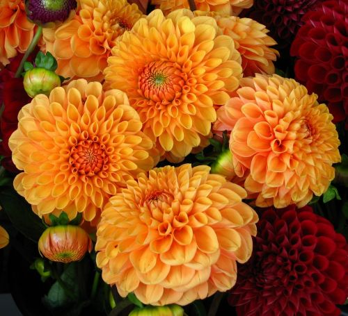 dahlias flowers blooms