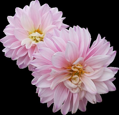 dahlias flowers pink