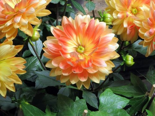 dahlias flowers orange