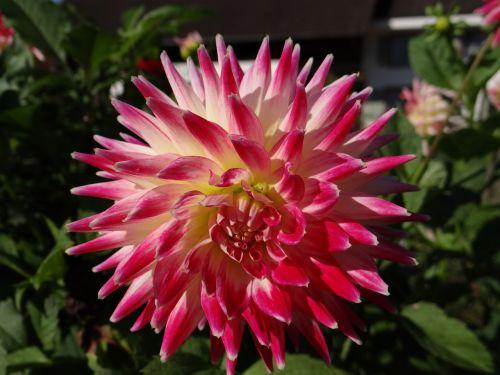 dahlias flower plant