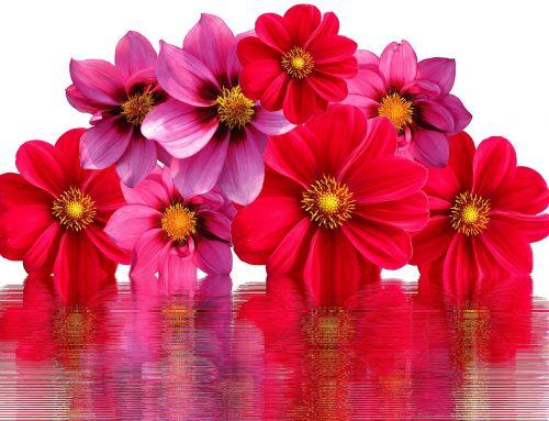 dahlias flowers dahlia garden