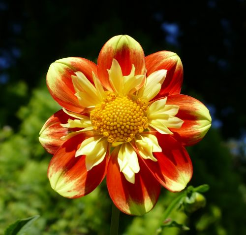dahlias geothermal bi color