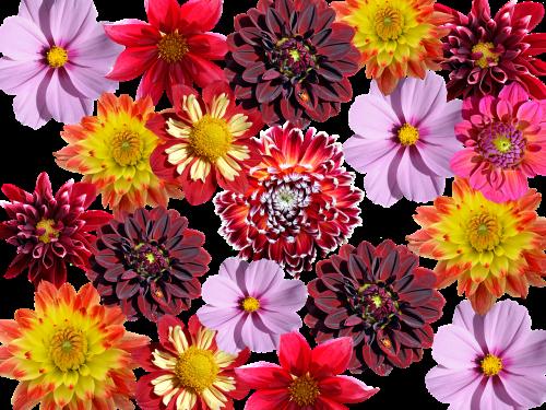 dahlias autumn dahlia garden
