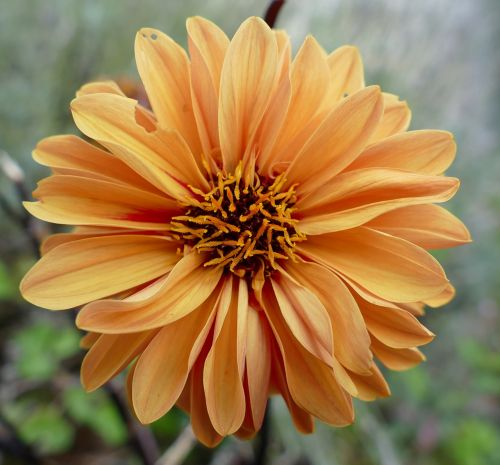 dahlias pistil orange blossom