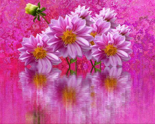 dahlias autumn pink dahlias
