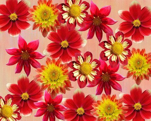 dahlias autumn red