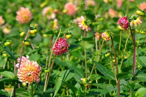 dahlias blossom bloom