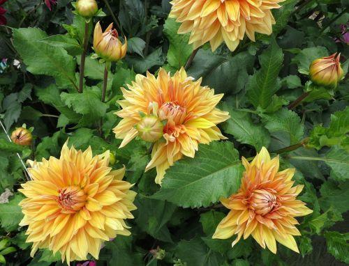 dahlias yellow bush