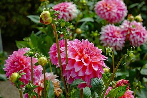dahlias  flower  blossom