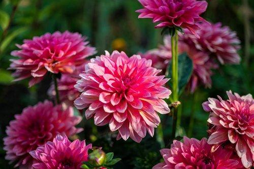 dahlias  flowers  nature