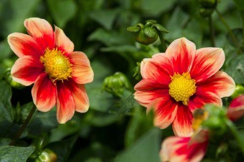 dahlias flowers red