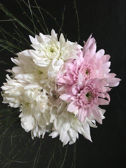 dahlias white  dahlias pink  dalia