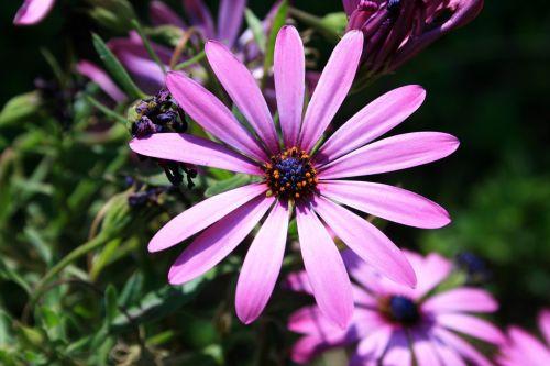 Dainty Purple Daisy