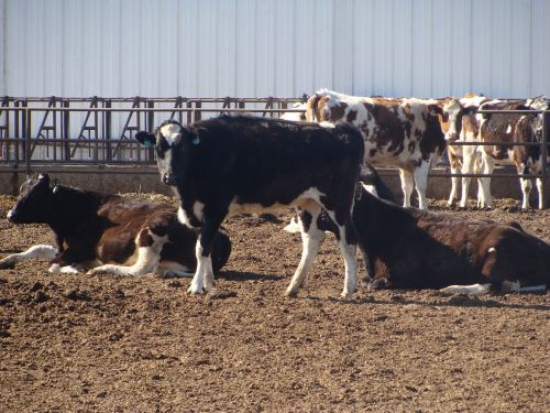 dairy cows livestock