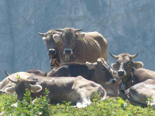 pieninės karvės,karvės,karvės bandas,poilsis,galvijai,ruda,gyvūnai,kalnas,alm,ragai