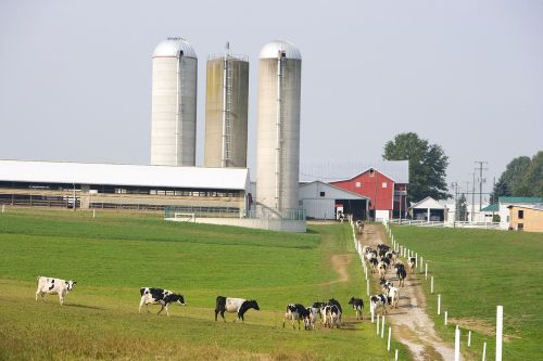 dairy farm cows agriculture