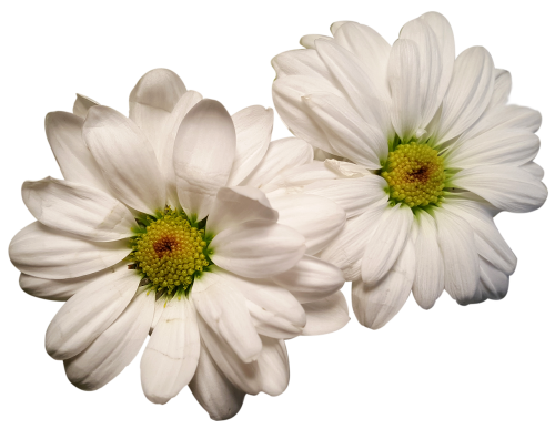 daisies exposed flower heads