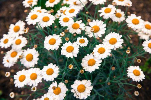 daisies daisy flower