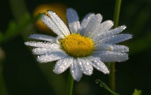 daisies leucanthemum maximum flowers