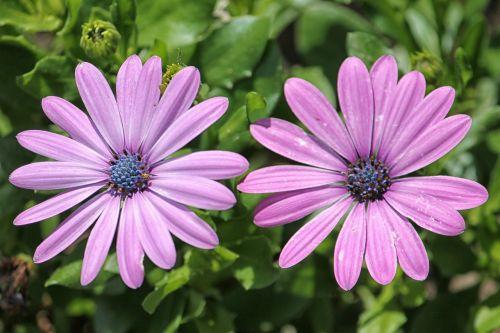 daisies bornholm flowers