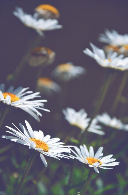 daisies white daisies flowers