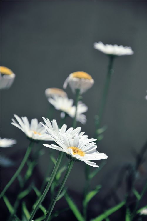 daisies white daisies flower