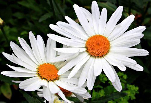 rozės,balta,geltona,žiedas,žydėti,augalas,gėlės,žydėti,vasara,gamta,balta gėlė,flora,sodo augalas,sodas,vasaros gėlė,botanika