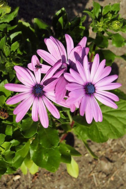 daisies flowers bornholm