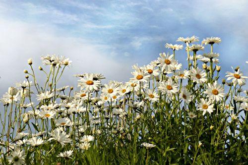 daisies leucanthemum flower