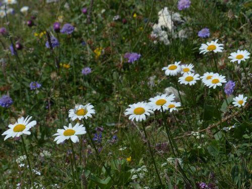 daisies meadows margerite blumw
