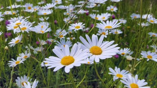 daisies meadow meadow margerite