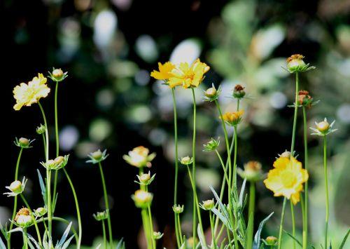 daisies yellow stems