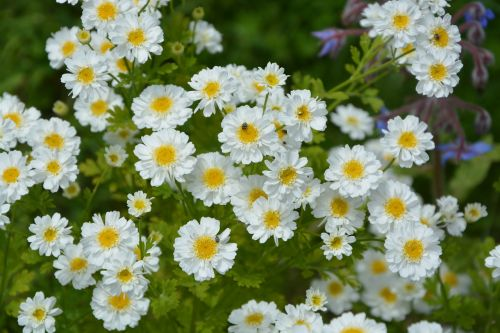 daisies flowers small white