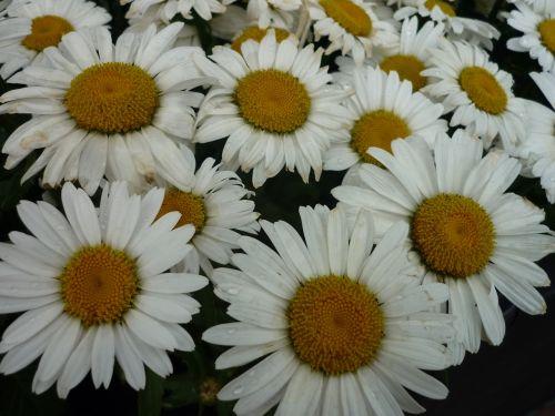 daisies nature white