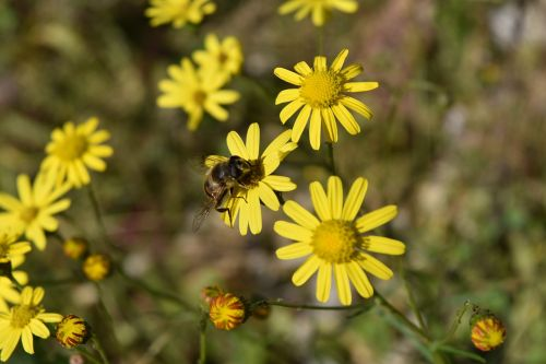 daisies bee insect