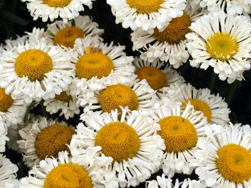 daisies flowers blooms