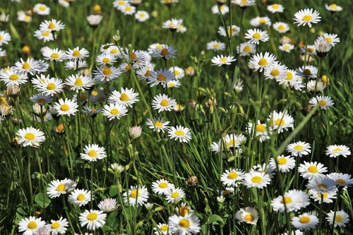 daisies  grass  flower
