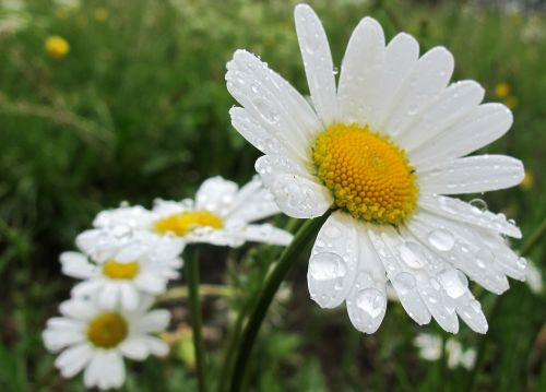 daisies spring flowers white