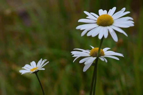 daisies  flowers  white