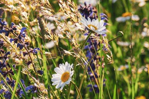 daisies  flowers  bloom