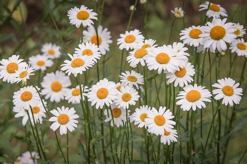 daisies  flower meadow  white