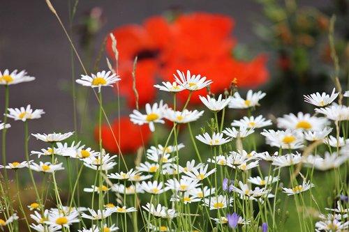 daisies  meadow  white