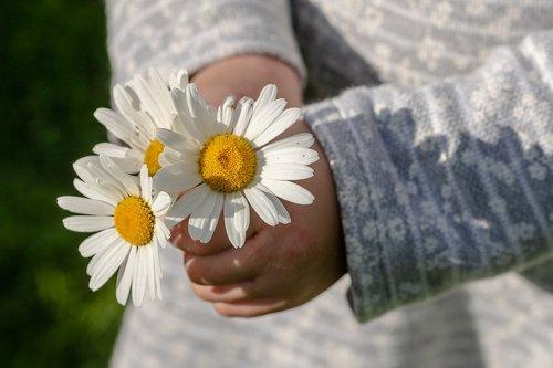 daisies  leucanthemum maximum  children's hands